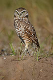 Burrowing Owl standing on the ground Stock Photography
