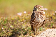 Burrowing Owl standing on the ground Stock Image