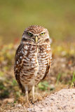 Burrowing Owl standing on the ground Royalty Free Stock Photo