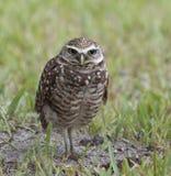 Burrowing Owl Standing na grama verde Imagens de Stock Royalty Free