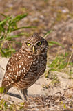 Burrowing owl. Standing next to his underground nest in a tropical park Stock Photo
