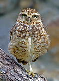 Burrowing Owl. Standing on one leg, Athene cunicularia Royalty Free Stock Images