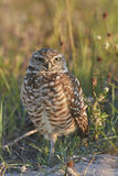 Burrowing Owl Standing on One Leg Royalty Free Stock Image