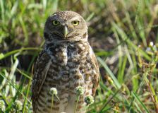 Burrowing owl standing proud Royalty Free Stock Photo