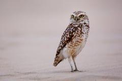 Burrowing owl standing on sand, Huacachina, Peru Stock Image