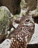 Burrowing owl standing Royalty Free Stock Photography