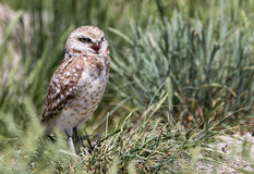 Burrowing Owl. A burrowing owl stands in the grass Stock Photos
