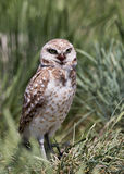 Burrowing Owl. A burrowing owl stands in grass Stock Image