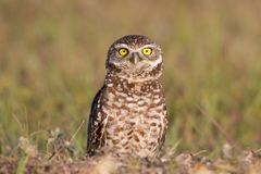 Burrowing owl staring at camera, Cape Coral, Florida. Burrowing owl Athene cunicularia, Cape Coral, Florida stock image