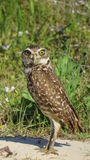 Burrowing Owl Staring Contest. Burrowing Owl watching me very closely - Cape Coral, Florida Stock Photography