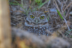 Burrowing Owl staring at me. In Cape Coral Florida Stock Image