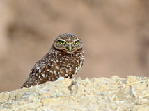 Burrowing Owl Staring Stock Image