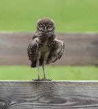 Burrowing Owl Staring op Omheining Royalty-vrije Stock Foto