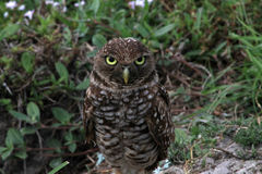 Burrowing owl staring you down on field Royalty Free Stock Photos