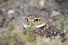 Burrowing owl stooping on field facing straight. South florida burrowing owl stooping down on field Royalty Free Stock Images