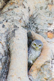 Burrowing Owl on the tree hole Stock Photos