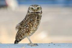 Burrowing Owl, Tucson Arizona Royalty Free Stock Image