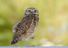 Burrowing Owl, Tucson Arizona Stock Images