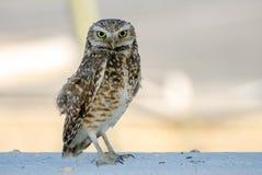 Burrowing Owl, Tucson Arizona Royalty Free Stock Photos