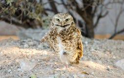 Burrowing Owl, Tucson Arizona Royalty Free Stock Photo