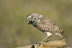 A Burrowing Owl upchucks a pellet Stock Photos