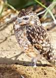 Burrowing owl vertical Stock Photo