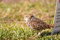 A Burrowing Owl waits outside his burrow Royalty Free Stock Image