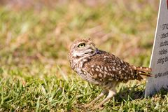 A Burrowing Owl watches a Bald Eagle flying past Stock Photography