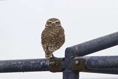 Burrowing Owl which sits on a metal frame Royalty Free Stock Photos
