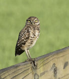 Burrowing Owl on Wood Fence Royalty Free Stock Images