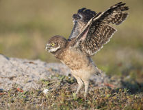 Burrowing Owlet Stock Photos