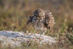 Burrowing Owlet Stock Photo
