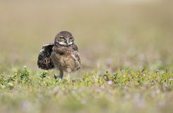 Burrowing Owlet Stock Images