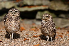Burrowing owls Stock Photos