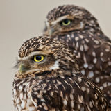 Burrowing Owls Royalty Free Stock Images