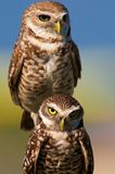 Burrowing owls. Two burrowing owls in Cape Coral, Florida Royalty Free Stock Image