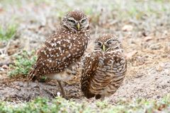 Burrowing Owls (athene cunicularia) Royalty Free Stock Images