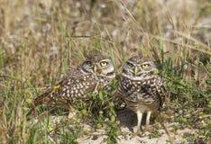 Burrowing Owls, Athene cunicularia Stock Photos
