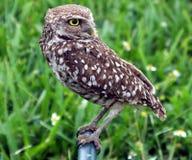 Burrowing Owls (Athene cunicularia) Stock Photo
