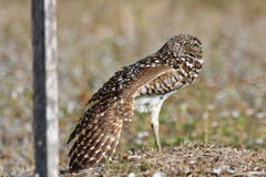 Burrowing Owls in Cape Coral, Florida. While taking my morning walks during vacation in Cape Coral, I watched a family of burrowing owls.  This burrowing owl Stock Photo