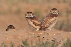Burrowing Owls in Colorado. Burrowing owls migrate to Colorado every summer Stock Photos
