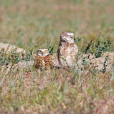 Expressive Burrowing Owls Royalty Free Stock Photos