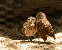 Burrowing owls in love. Pair of burrowing owls cuddling together during mating season. Burrowing owls live underground in burrows that have been dug out by small stock photo