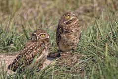 Burrowing owls nestlings (athene cunicularia). Burrowing owls at nest site in Southern Florida Royalty Free Stock Images