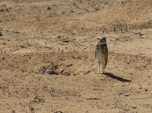 Burrowing Owls Stock Photo
