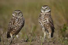Burrowing Owls standing on the ground Stock Photography