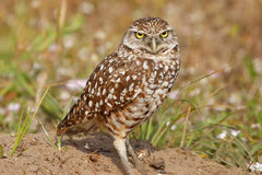 Burrowing Owls standing on the ground Stock Images