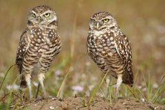Burrowing Owls standing on the ground Royalty Free Stock Images