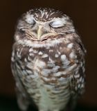 Burrowing Owl Dreaming Of Food Stock Photo