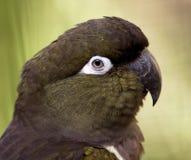 Burrowing parakeet 1 Stock Photo